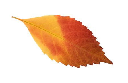 red and orange autumn leaf isolated on white background
