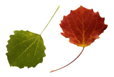 aspen tree:  two ash tree leaves, green and red, isolated on white background