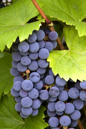 purple red grapes: bunch of red grapes with leaves Stock Photo