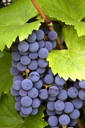 vi�edo: racimo de uvas rojas con hojas  Foto de archivo