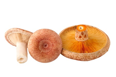 torminosus: edible mushrooms, Lactarius torminosus and Lactarius deliciosus, isolated on white background Stock Photo