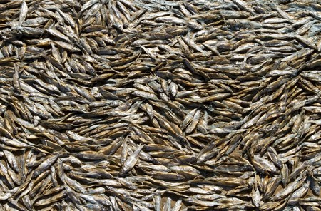 a lot of dead, dried fish out of water after the storm photo