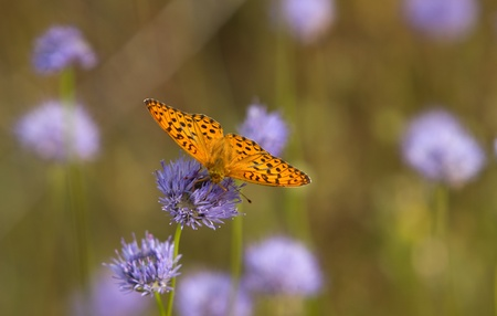 orange butterfly stand on a purple  flower. photo