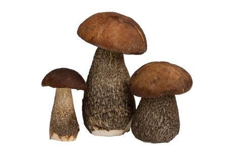 mycelium:  edible mushrooms isolated on white background