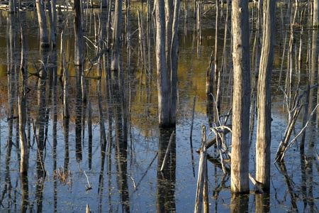 bare tree: dead forest, trees trunks stand in the water