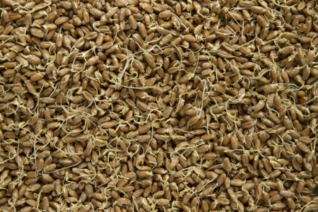 sprouted: sprouted wheat as background