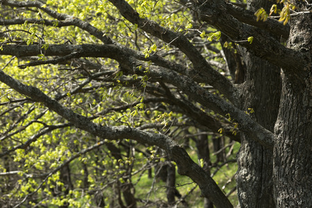 sways:  Trunks of Trees Sways in the Wind in Spring Stock Photo