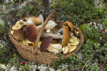 Wicker Basket Full of Various Kinds of Edible Mushrooms in the Forest