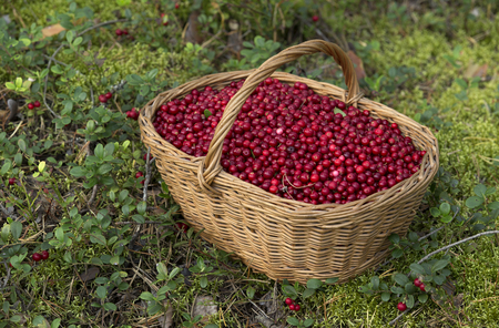 Basket Full of Fresh Ripe Cowberries in the Forest