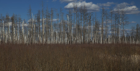 died: Forest of dead bare trees and dry grass on the foreground.