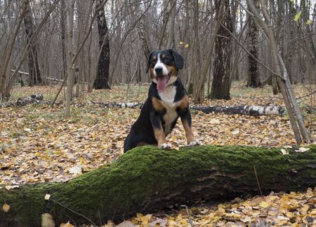 Happy dog walks in the autumn forest. Ground covered with yellow autumn leaves.