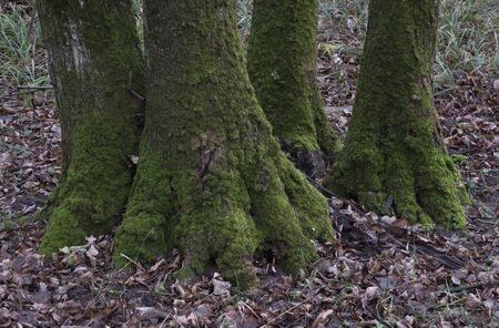 Moss-covered tree roots and fallen leaves covering the ground around the tree. Tree roots in the autumn forest.