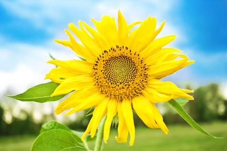 little sunflower over blue sky photo