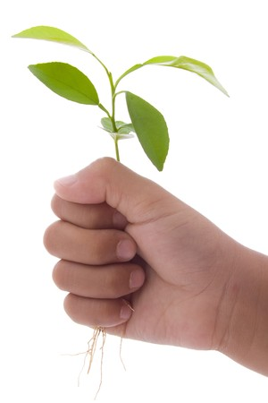 hand holding plant: human hand holding young green plant isolated on white