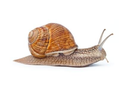 Close up  shot of Burgundy (Roman) snail isolated on white background Stock Photo