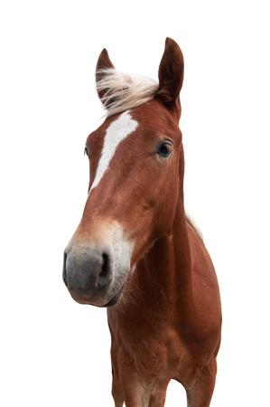 yegua: caballo rojo con melena blanca aislada sobre fondo blanco