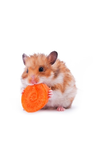sneaky: close up shot of red hamster on white background