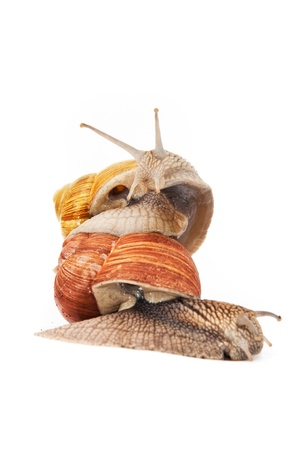 mollusca: Close up shot of Burgundy (Roman) snail isolated on white background