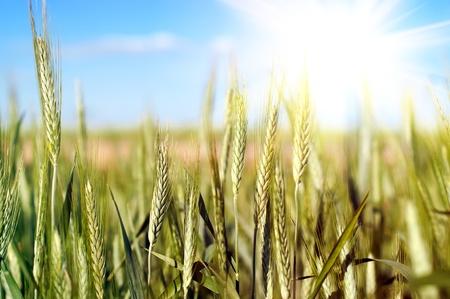 grain fields: close up shot of wheat over blue sky