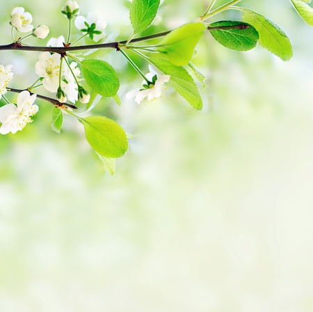 white spring flowers on a tree branch over green bokeh background close-up shallow DOF Stock Photo - 12904743