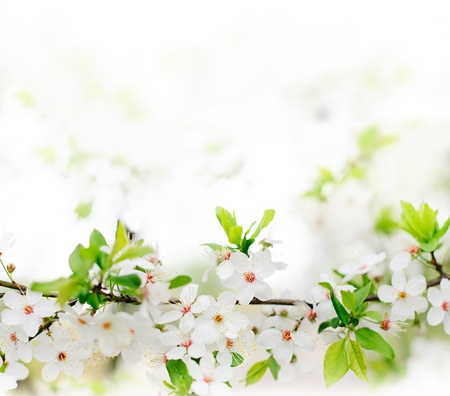 white spring flowers on a tree branch over grey sunny bokeh background close-up  Stock Photo
