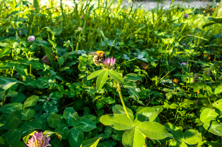 A bee on a clover. Flowering clover in a meadow Stock Photo