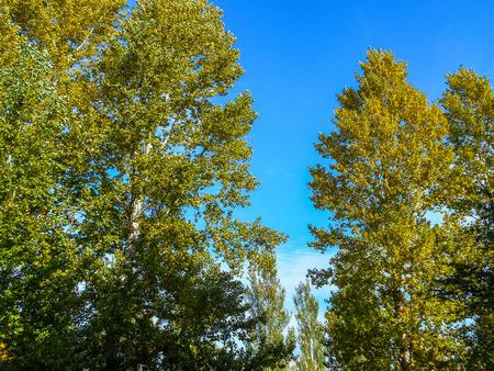 Poplar tree in fall with bright green leaves. Poplar tree. Green leaves.