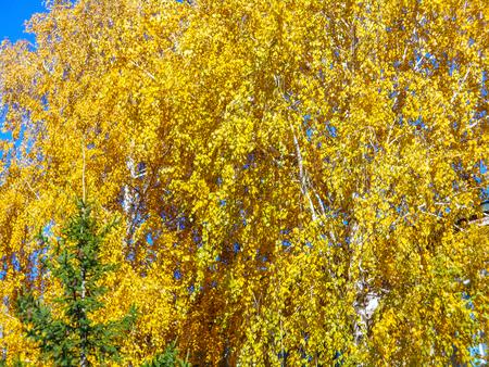 Autumn. Birch tree. Spruce. Yellow birch crown and spruce.