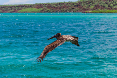 flapping: Pelican in flight. Galapagos flapping wings