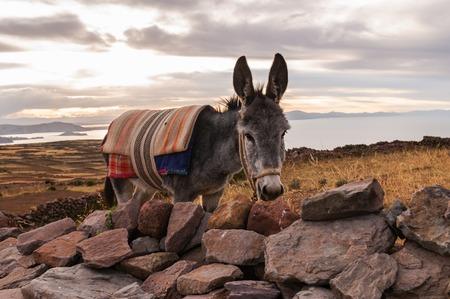 peruvian ethnicity: Donkey on Amantani Island