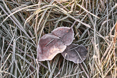 Frozen leaves and grass. Moscow winter. photo