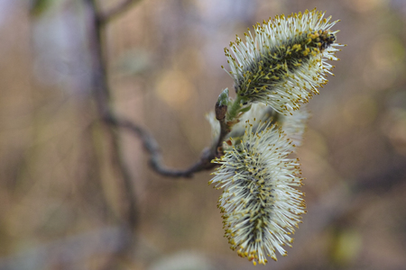 weeping willow tree: Willow