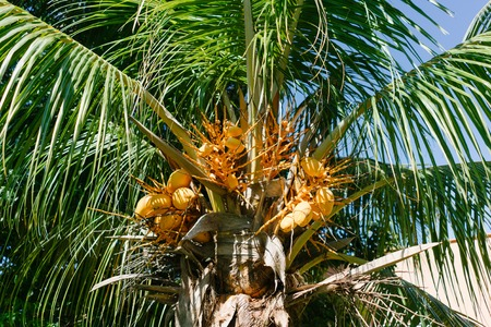 cana: Palm tree in Cuba Stock Photo
