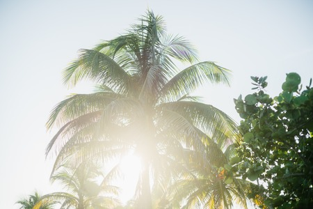 varadero: Palm trees and their leaves in the resort town of Varadero, Cuba Stock Photo