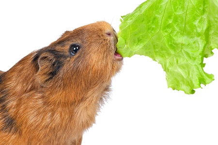 ridiculous: the guinea pig eats a green lettuce leaf on a white background Stock Photo