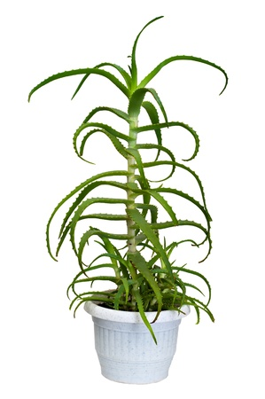 houseplant: aloe houseplant Stock Photo