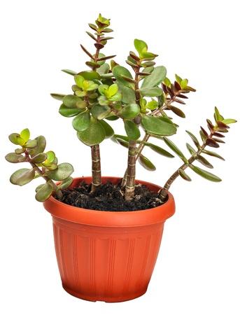 crassula: houseplant crassula or monetary tree