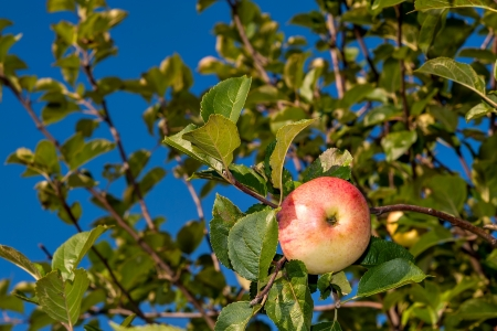 ripe red apple hanging on a tree in a garden