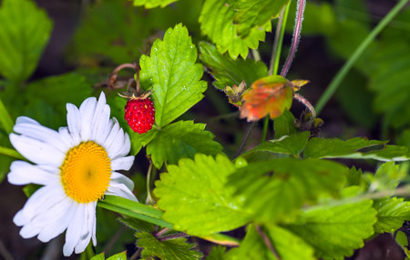 ripe berry of forest wild strawberry near a camomile flower
