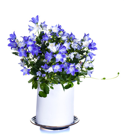 window plant Campanula it is isolated on a white background