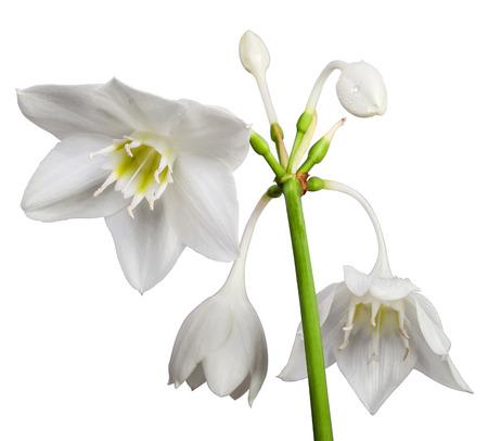 White Eucharis Grandiflora Flower isolated on white background Stock Photo