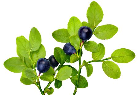 blueberry berries on twigs with leaves isolated on a white background Stok Fotoğraf