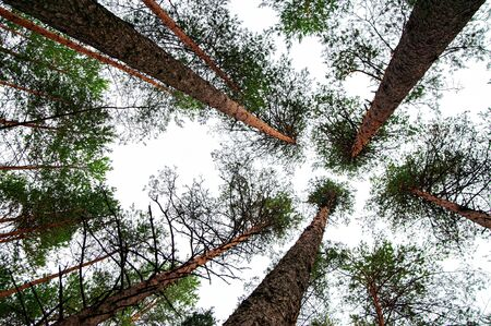 Trees against the sky, view from below. Tall pine trees in the forest. Background texture: tops of conifers