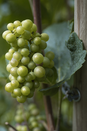 growers: cluster of grapes Stock Photo
