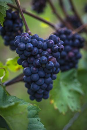 growers: a bunch of dark grapes Stock Photo