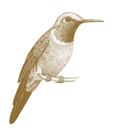pollinate: Hummingbird drawn by hand