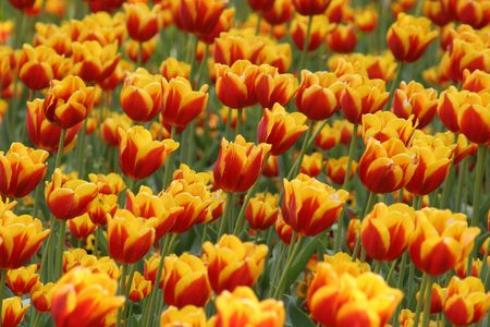 ambient: tulips, ambient wind