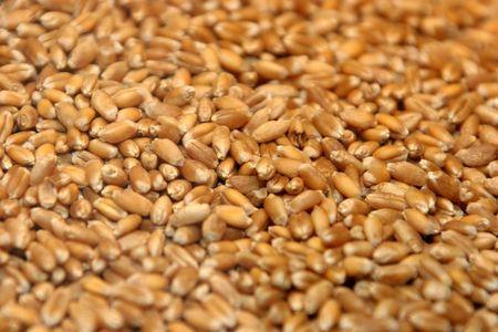 wheat seeds photo