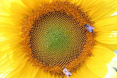 sunflowers with bee photo