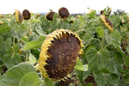 slumped: crumpled sunflowers, at the point of death